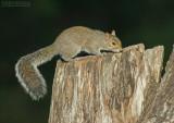 Grijze Eekhoorn - Eastern Gray Squirrel - Sciurus carolinensis