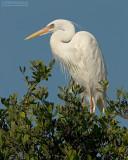Amerikaanse Witte Reiger - Great White Heron - Ardea herodias