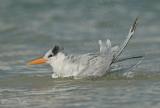 Koningsstern - Royal Tern - Thalasseus maximus