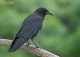 Amerikaanse Kraai - American Crow - Corvus brachyrhynchos