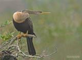 Amerikaanse Slangenhalsvogel - Anhinga - Anhinga anhinga