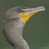 Geoorde Aalscholver - Double-crested Cormorant - Phalacrocorax auritus