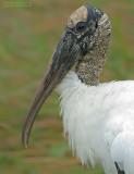 Kaalkopooievaar - Wood Stork - Mycteria americana