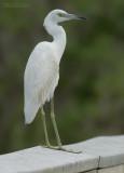 Kleine Blauwe Reiger - Little Blue Heron - Egretta caerulea