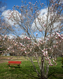Flowering Tree and Bench