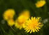 Dandelion Close-up #2