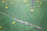 Dandelions In Fog #2