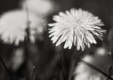 Group of Dandelions #1
