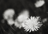 Group of Dandelions #2