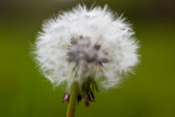 Dandelion Passing