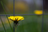 Dandelion by the Garden Fence