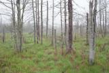 Marsh Trees in Fog