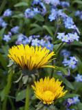Dandelion Pair and Bluets