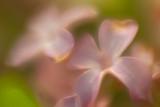 Soft Lilac Macro #1