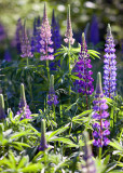 Purple Lupin