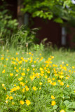 Buttercups and Garage