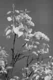 High Lilacs