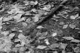 Fallen Leaves and Stick in Water Monochrome