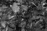 Fallen Leaves in Water Monochrome