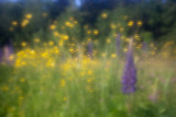 Lupines and Buttercups #1
