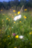 Daisies, Buttercups and a Clover