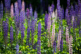 Compressed Lupine Field