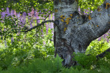 Tree by Lupine Field