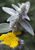 Lamb's Ear and Yarrow Flower