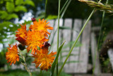 Orange Hawkweed in Front of Bench