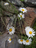 Daisy Grouping in Rocks