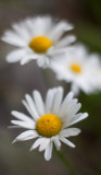 Three White Daisies