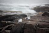 Seagull Pair