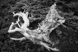 Gnarled, Fallen Pine