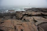 Gull Flying over Rocky Coast in Fog