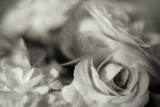 Monochrome Tea Roses