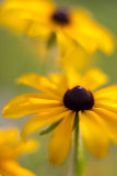 First Black-eyed Susans 2011