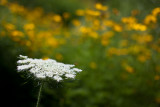 Queen Anne's Lace by Coreopsis