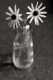 Little Countertop Daisies