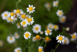 Little Daisy Bunch