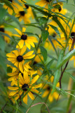 Many Rudbackia and Weeds