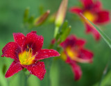 Red Lily Trio