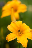Yellow Lily Pair