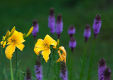 Yellow Lily Pair in Field of Liatris