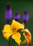 Yellow Lily with Liatris Trio