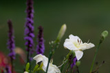 White Lilies and Liatris