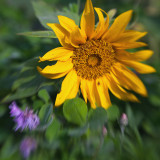 Short Sunflower Among Wildflowers