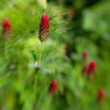 Little Red Wildflower