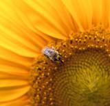 Little Bee – Variation