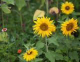 Sunflowers and Wildflowers #1