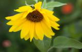 Sunflowers and Wildflowers #4